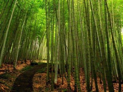 Фотообои для зала Бамбуковый лес