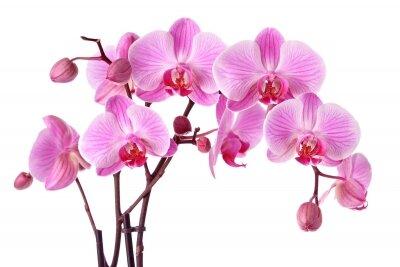 Фотообои Роскошь орхидеи