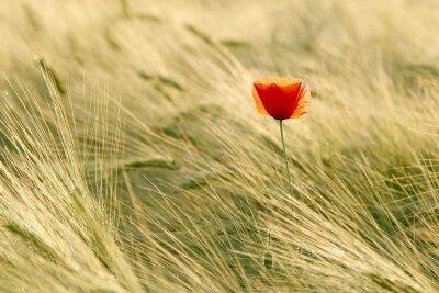 Фотообои Одинокий цветок мака
