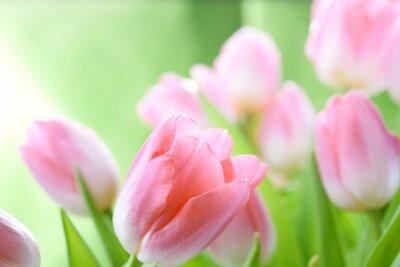 Фотообои для кухни Розовые тюльпаны