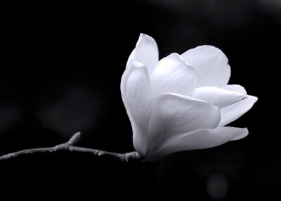 Фотообои в прихожую Цветок магнолии