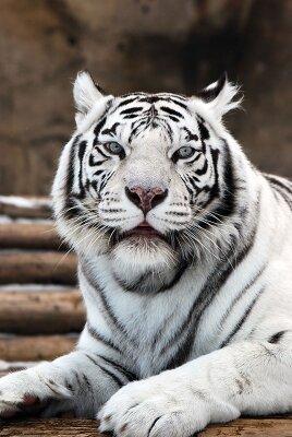 Фотообои для офиса Белый тигр