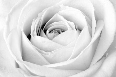 Фотообои для офиса Белая роза