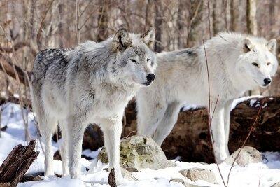 Белые волки в лесу