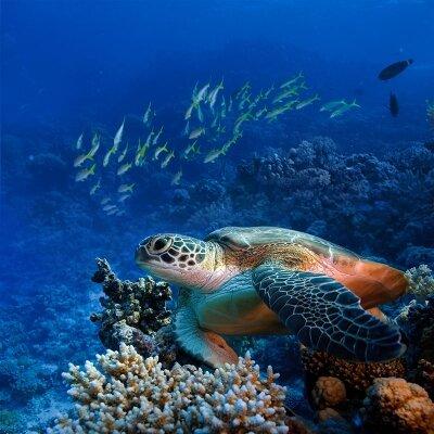 Черепаха на рифах