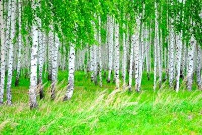Фотообои с природой русская березовая роща